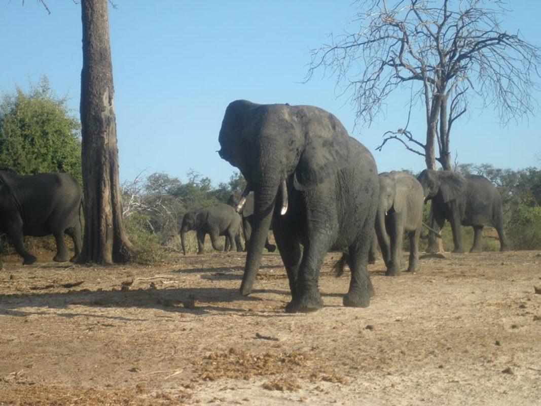 Nacionalni park Chobe prostire se na površini od 11.000 km², a u njemu živi (prema procjeni) oko 70.000 slonova. To je gotovo polovica svih slonova koji žive u Bocvani.